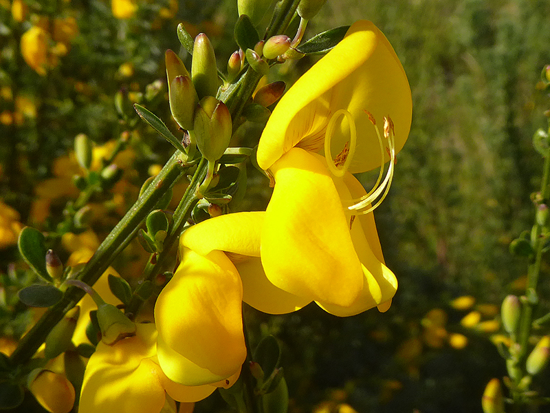 broom flower