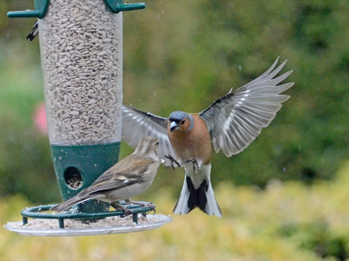 chaffinches talking