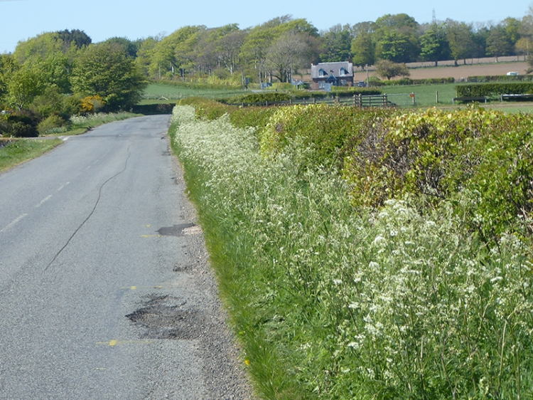 cow parsley and potholes