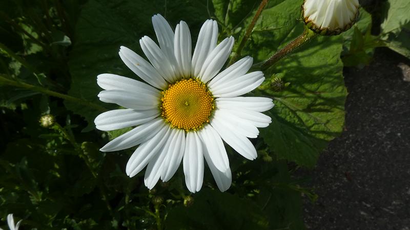 daisy canonbie
