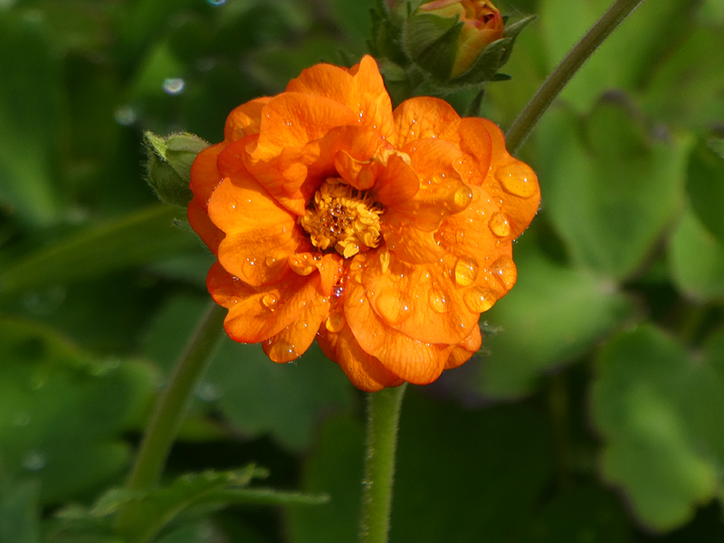 fancy geum