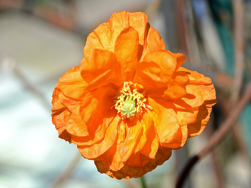 first icelandic poppy
