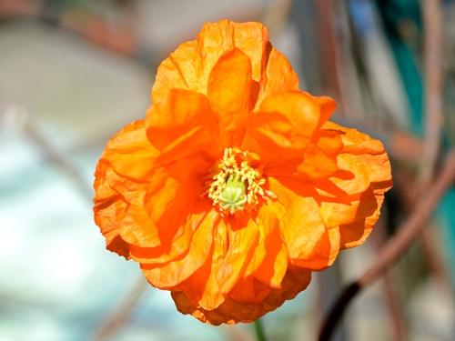 first icelandic poppy