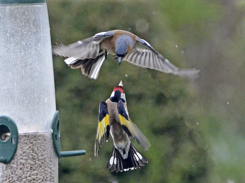 flying chaffinch and goldfinch