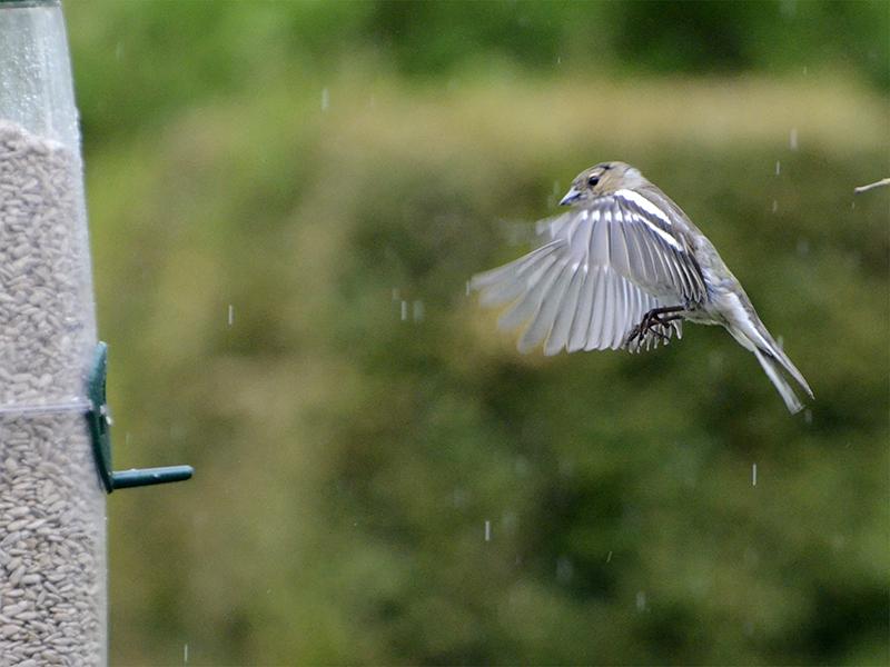 flying chaffinch in light rain