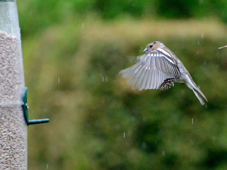 flying chaffinch in light rain