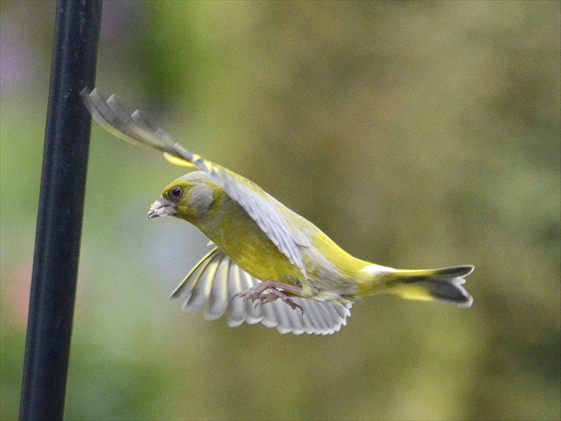 flying greenfinch