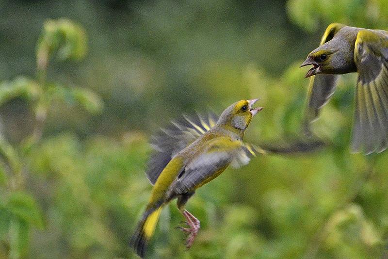 flying greenfinch quarrel
