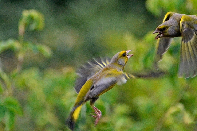 flying greenfinch quarrel