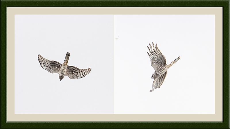 flying hen harrier female panel