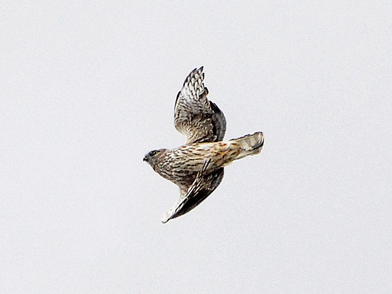 flying hen harrier female