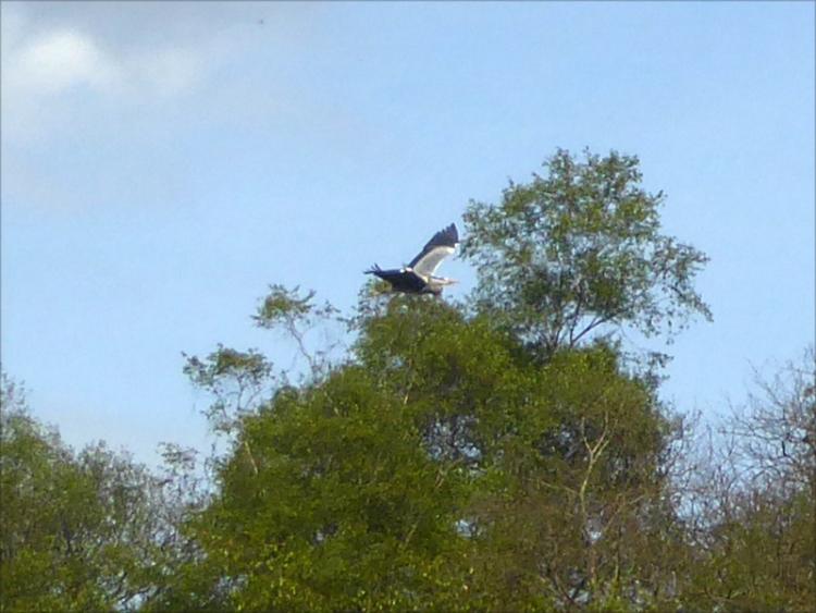 flying heron tarras