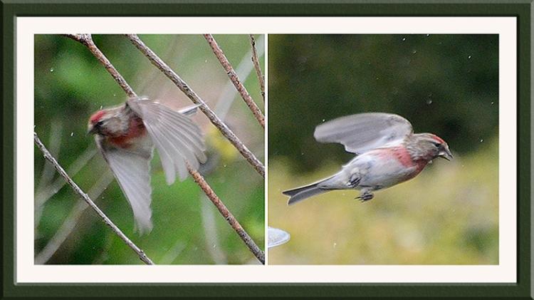 flying redpolls