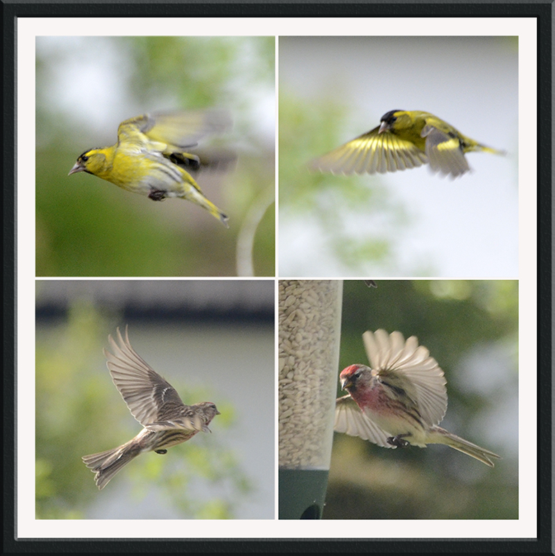 flying siskins and redpolls