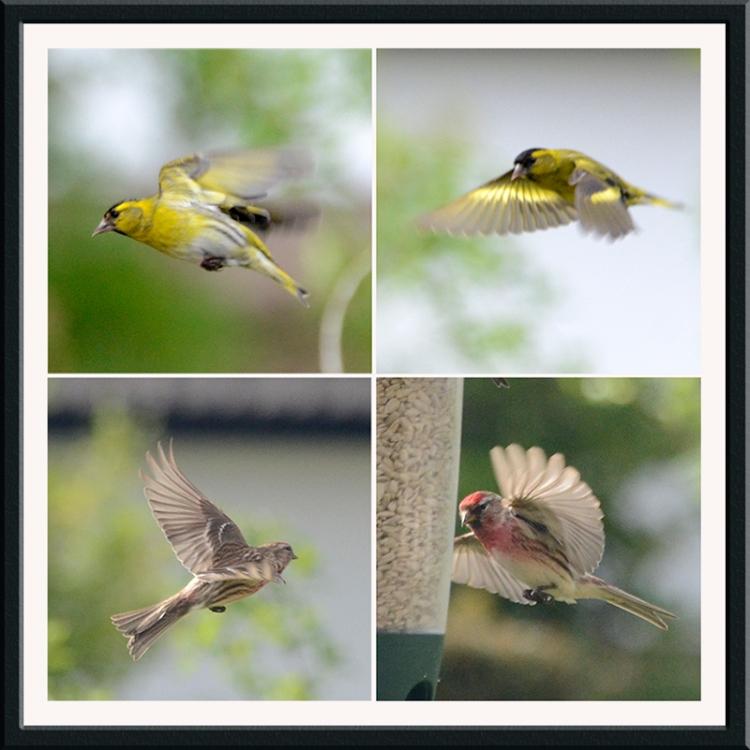flying siskins and redpolls