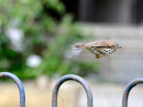 flying thrush