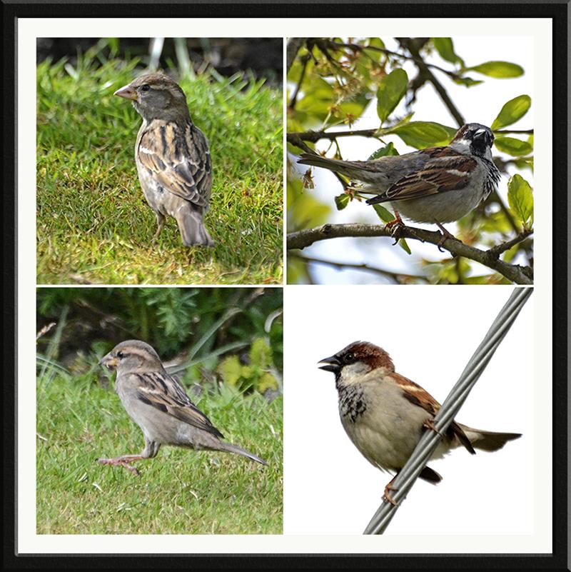 four sparrow panel