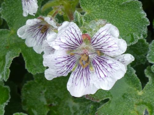 geranium white