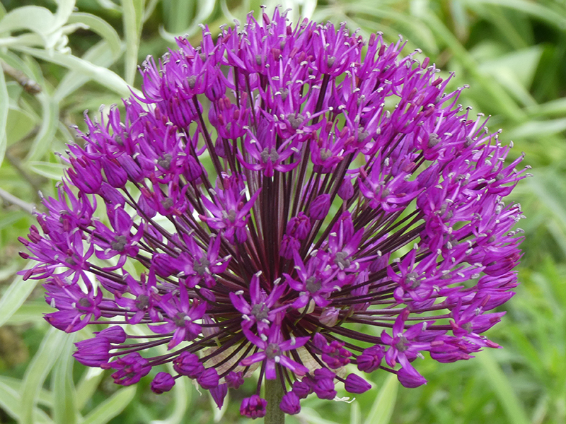 global allium