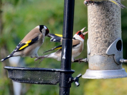 goldfinches kicking