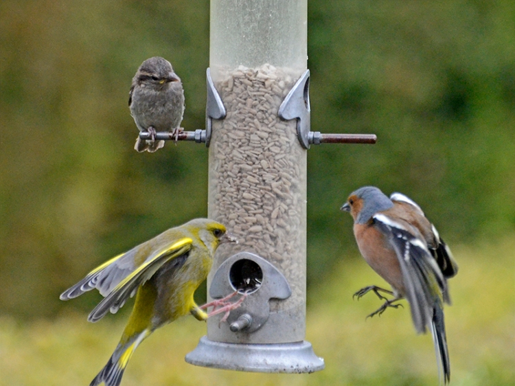 greenfinch and chaffinch arriving together