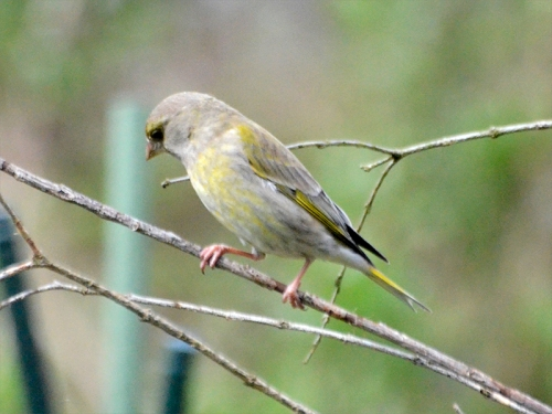 greenfinch in fake tree