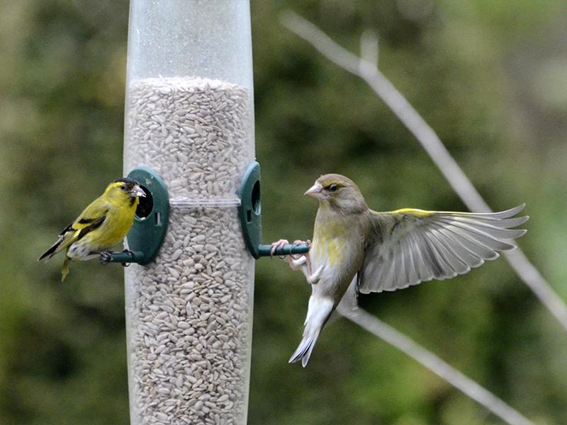 greenfinch landind