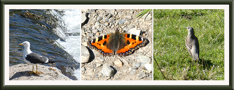 gull, small tortoiseshell, thrush