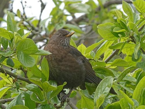 hopeful blackbird