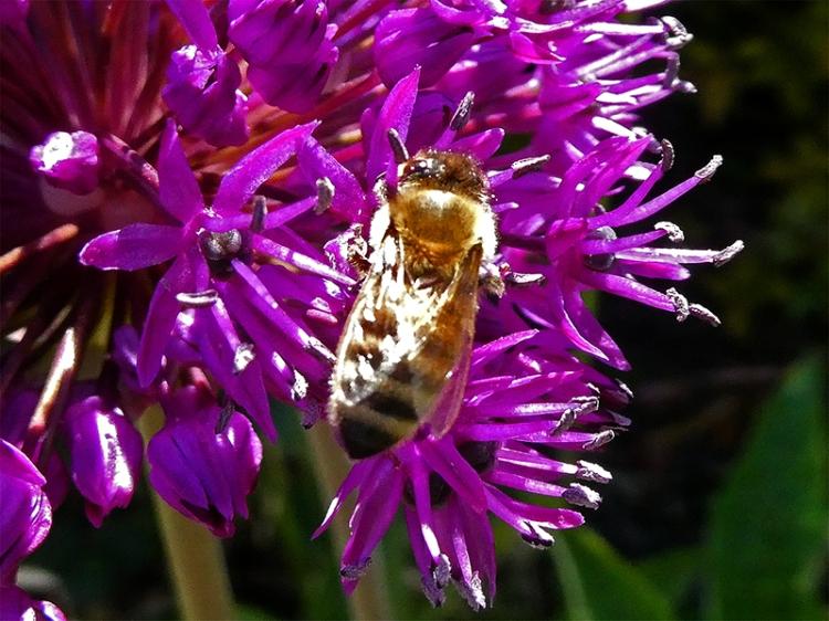 hoverfly on allium