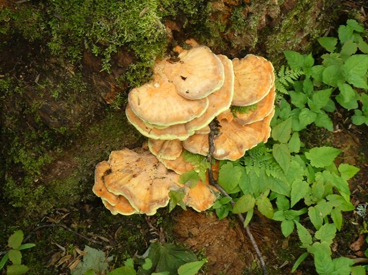 huge fungus holmhead