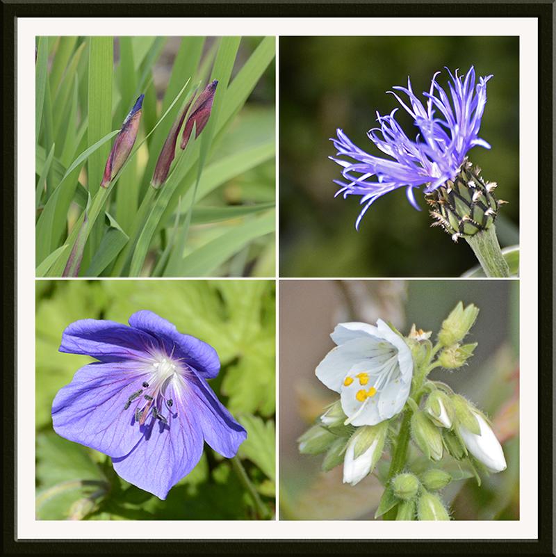iris, cornflower, geranium, polemonium