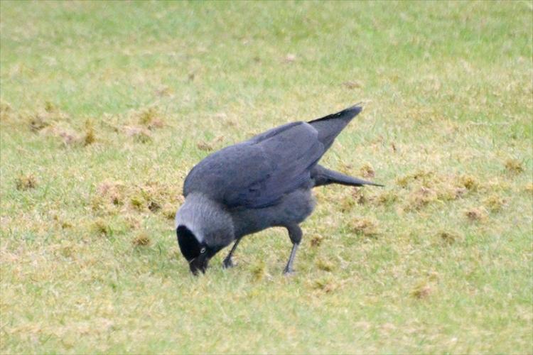 jackdaw pecking lawn