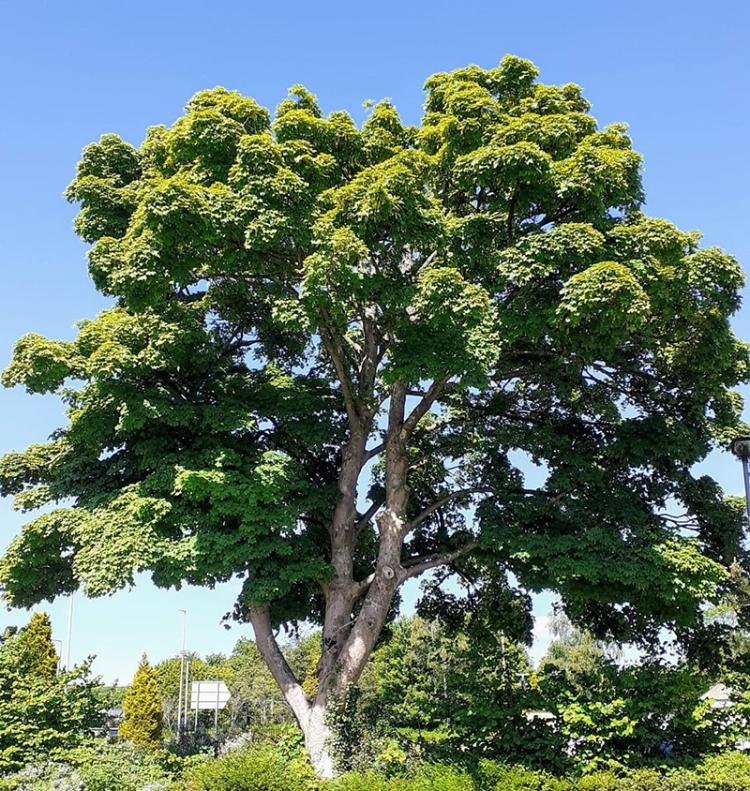 keiron's tree