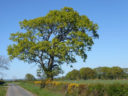 leaning tree and gorse