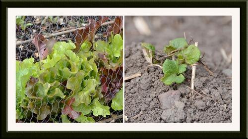 lettuce and potato