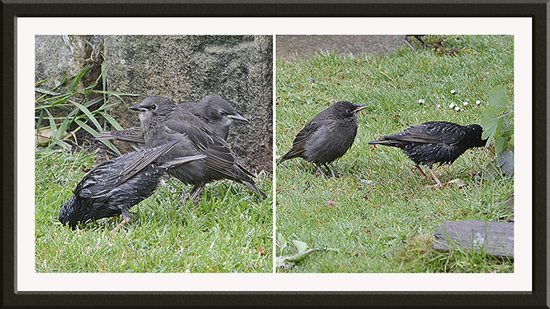 liz's starlings