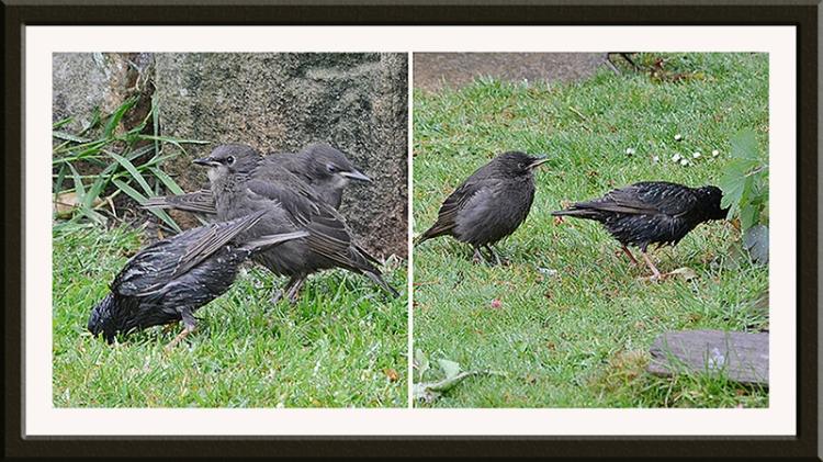 liz's starlings