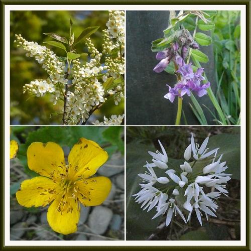marsh marigold, bird cherry, wild garlic, vetch
