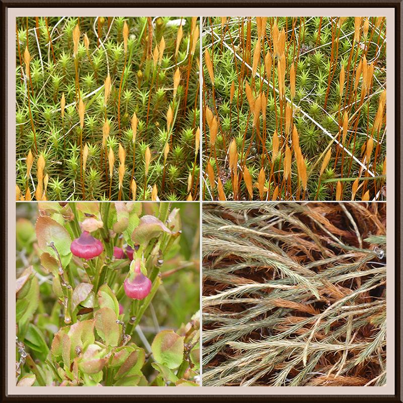 moss and blaeberry