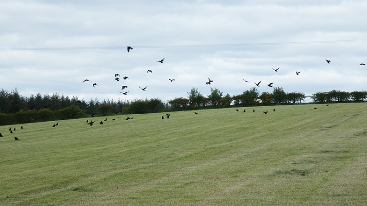 mown field with crows