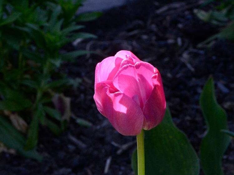 mroning poppy