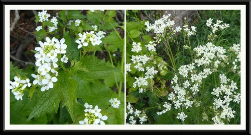 mustard garlic and cow parsley canonbie