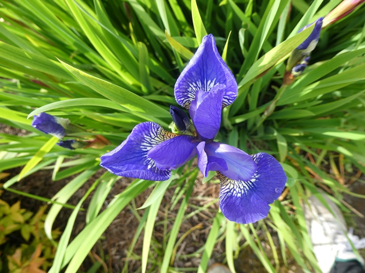 new iris