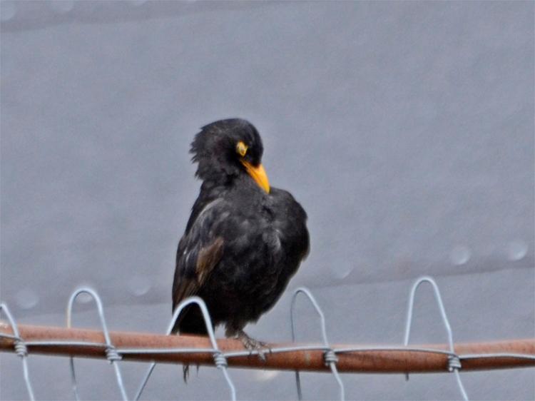 odd blackbird