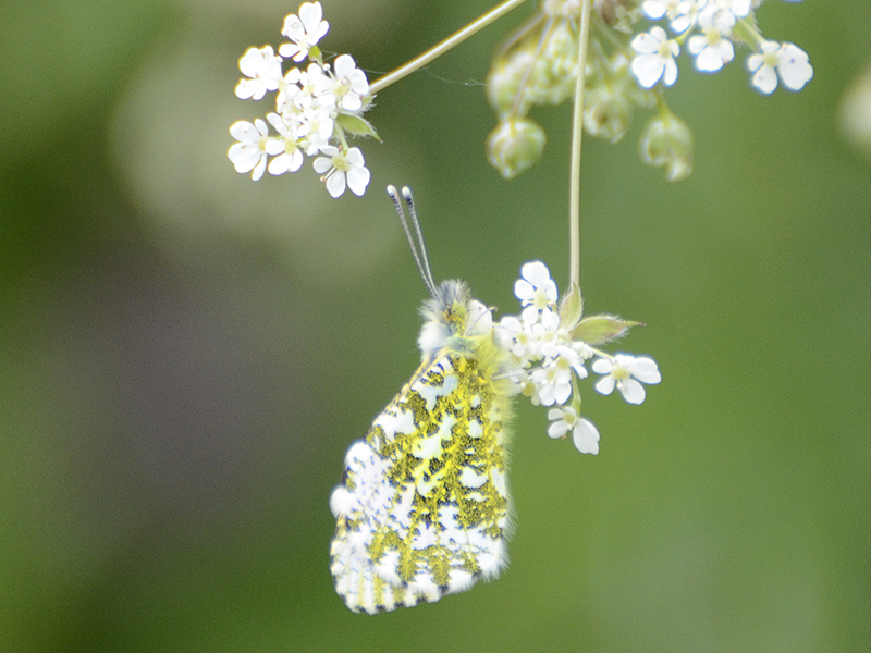 orange tip butterfly on cow parsley 1