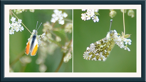 orange tip butterfly on cow parsley 2