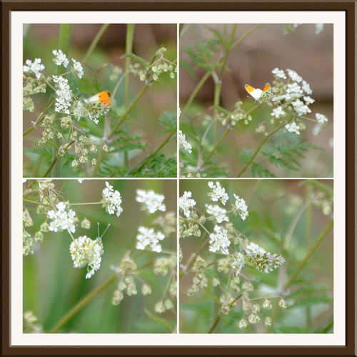 orange tip butterfly on cow parsley 3