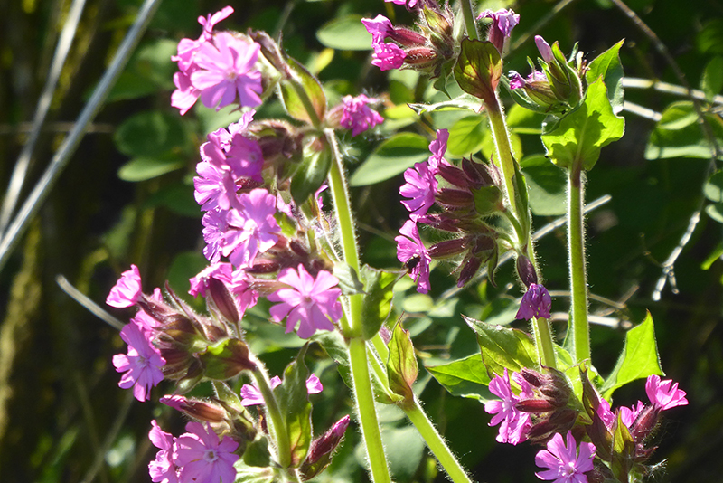 red campion canonbie