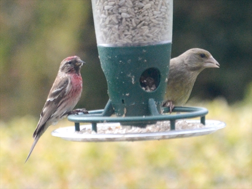 redpoll and greenfinch